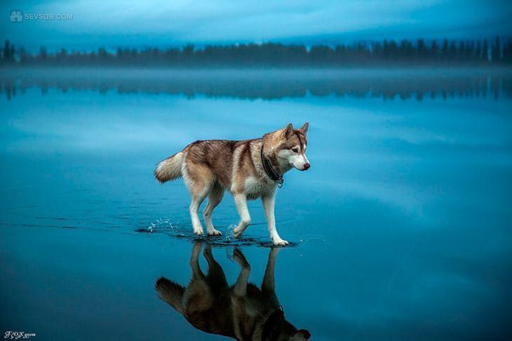 husky-paa-speilblank-is-04