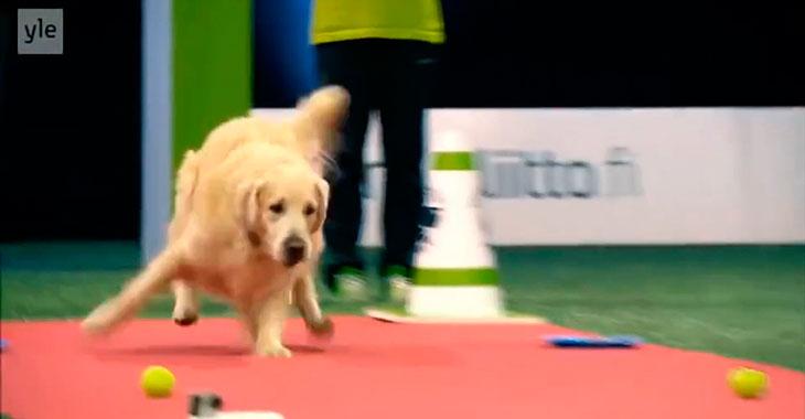 Konkurransen starter for så vidt bra for labradoren. Men så? Totalt sammenbrudd!