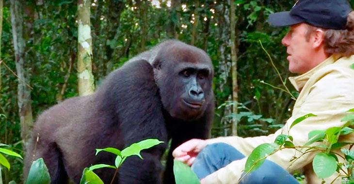 Han oppdro en gorilla som sin sønn og satte ham fri. 5 år senere møttes de i jungelen…