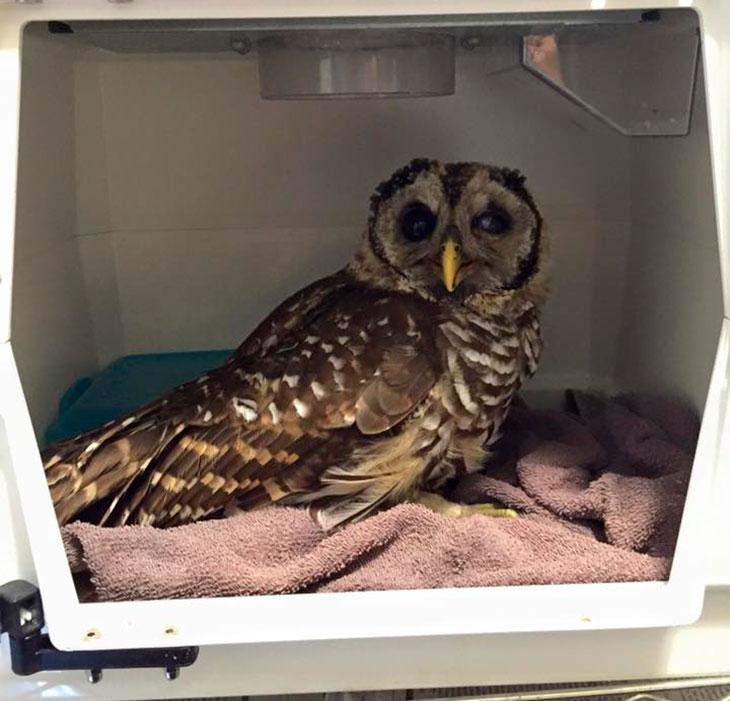 douglas-gigi-owl-rescue-05