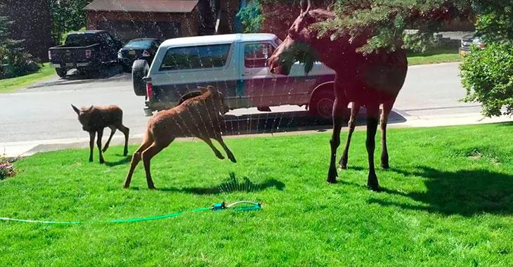 Familien syntes elgene så varme og tørste ut. Så de bestemte seg for å hjelpe dem! Herlig!