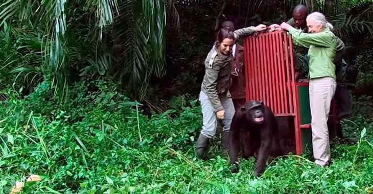 Kvinnen reddet sjimpansen fra en sikker død. Når den slippes fri, gjør den noe fantastisk!