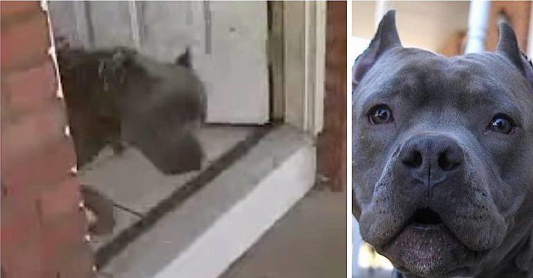 Kvinnen forstår ikke hvorfor pitbullen hennes bjeffer – Oppdager at nabokvinnen blir banket av ektemannen