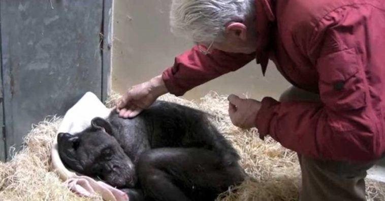 Den gamle sjimpansen var alvorlig syk og nektet å spise – Så oppdager hun sin gamle matfar