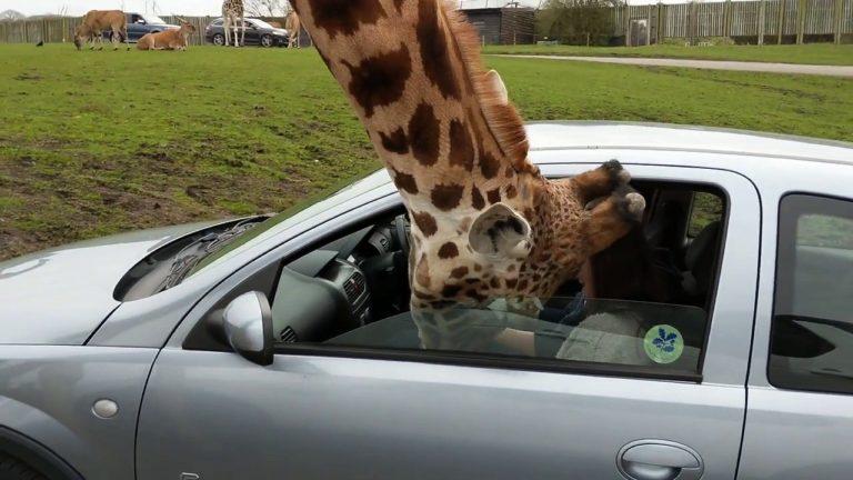 Sjiraffen stikker hodet inn i bilvinduet – sjåføren får panikk og tar et drastisk valg!