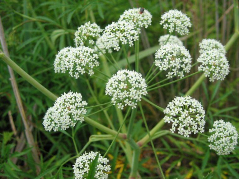 Dette er Norges giftigste plante – giften kan ta livet av et menneske på 15 minutter!