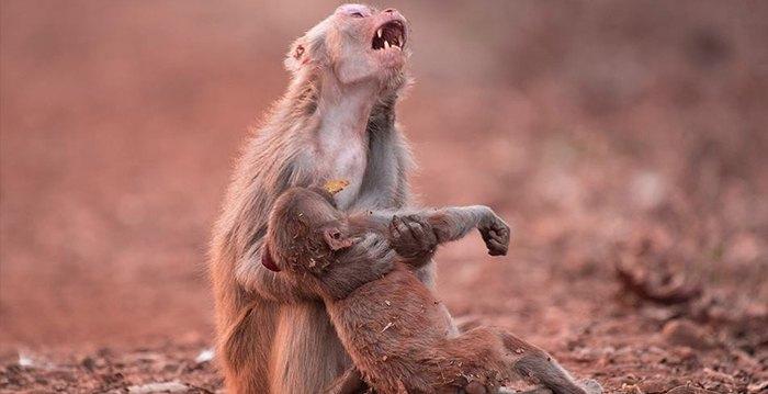 Hjerteskjærende bilde viser ape gråte da babyen hennes kollapset