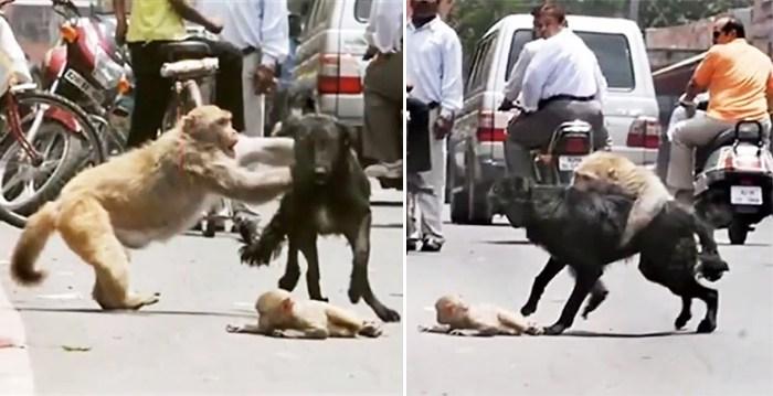 Apen risikerer livet for å redde babyen sin fra en løshund