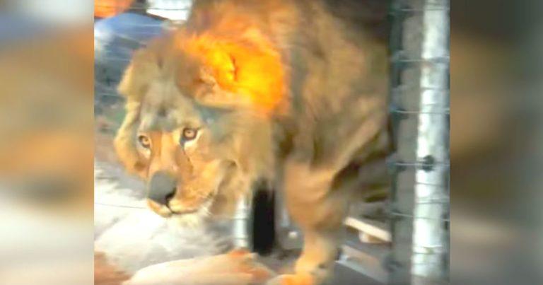 Løvene har bodd i et lite bur med betonggulv hele livet –  se det rørende øyeblikket når de blir satt fri!