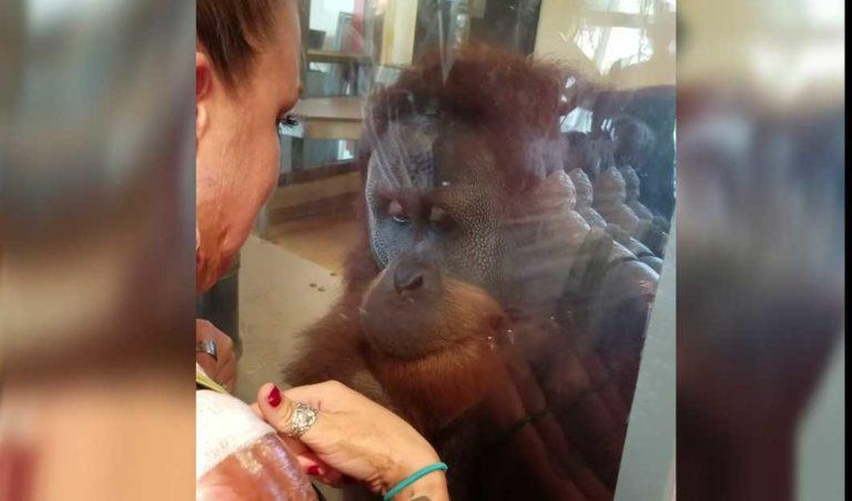 Da orangutangen fikk se en kvinne med brannskader utspilte det seg noen rørende scener