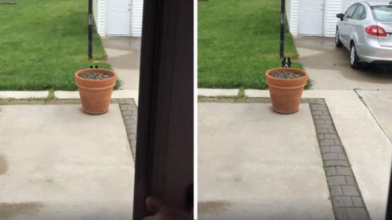 Hunden vil ikke inn igjen og gjemmer seg bak blomsterpotten –  Se det morsomme klippet!